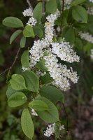 Prunus padus · paprastoji ieva 6818