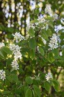 Amelanchier spicata · varpinė medlieva 6821