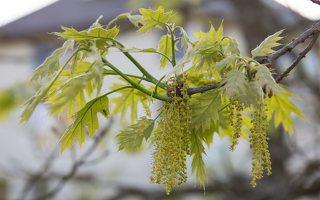 Quercus rubra · raudonasis ąžuolas žydi 6935