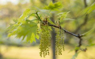 Quercus rubra · raudonasis ąžuolas žydi 6936