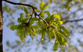 Quercus robur · paprastasis ąžuolas žydi 6938