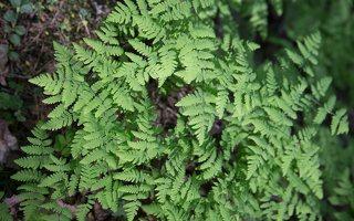 Gymnocarpium dryopteris · trikampis tikrapapartis 6995