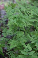 Gymnocarpium dryopteris · trikampis tikrapapartis 6996