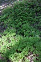 Gymnocarpium dryopteris · trikampis tikrapapartis 7000