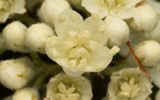 Sorbus × intermedia · švedinis šermukšnis 7038