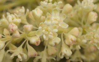 Rheum rhabarbarum flowers · daržovinis rabarbaras, žiedai 7039