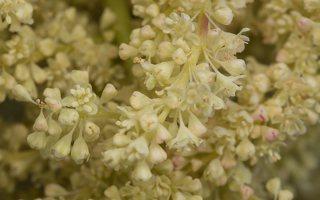 Rheum rhabarbarum flowers · daržovinis rabarbaras, žiedai 7040