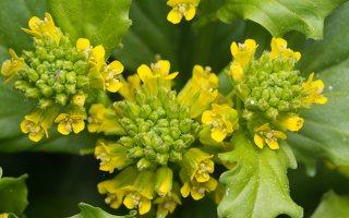 Barbarea vulgaris · paprastoji barborytė 7057