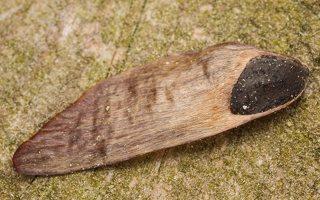 Pinus sylvestris seed · paprastoji pušis, sėkla 7341