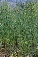 Schoenoplectus lacustris · ežerinis meldas 7551