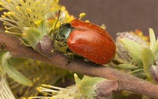 Chrysomela populi · tuopinis gluosninukas