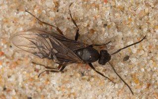 Formicidae · skruzdėlės 6366