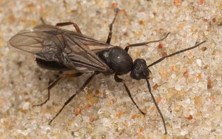 Formicidae · skruzdėlės 6367