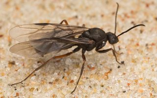 Formicidae · skruzdėlės 6375