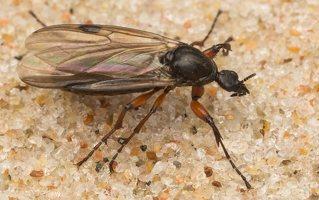Bibio johannis female · storakojis uodas ♀
