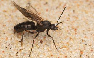 Formicidae · skruzdėlės 6383