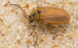 Galerucella lineola · guobinis aksominukas