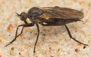 Rhamphomyia sp. · snapmusė