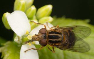 Syrphidae · žiedmusės 6426