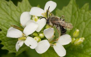 Apidae · bitė 6430
