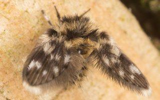 Psychodidae · kandinis uodelis 6448