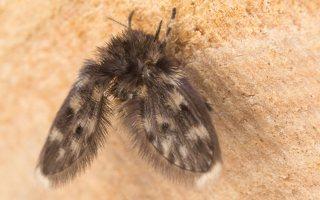 Psychodidae · kandinis uodelis 6449