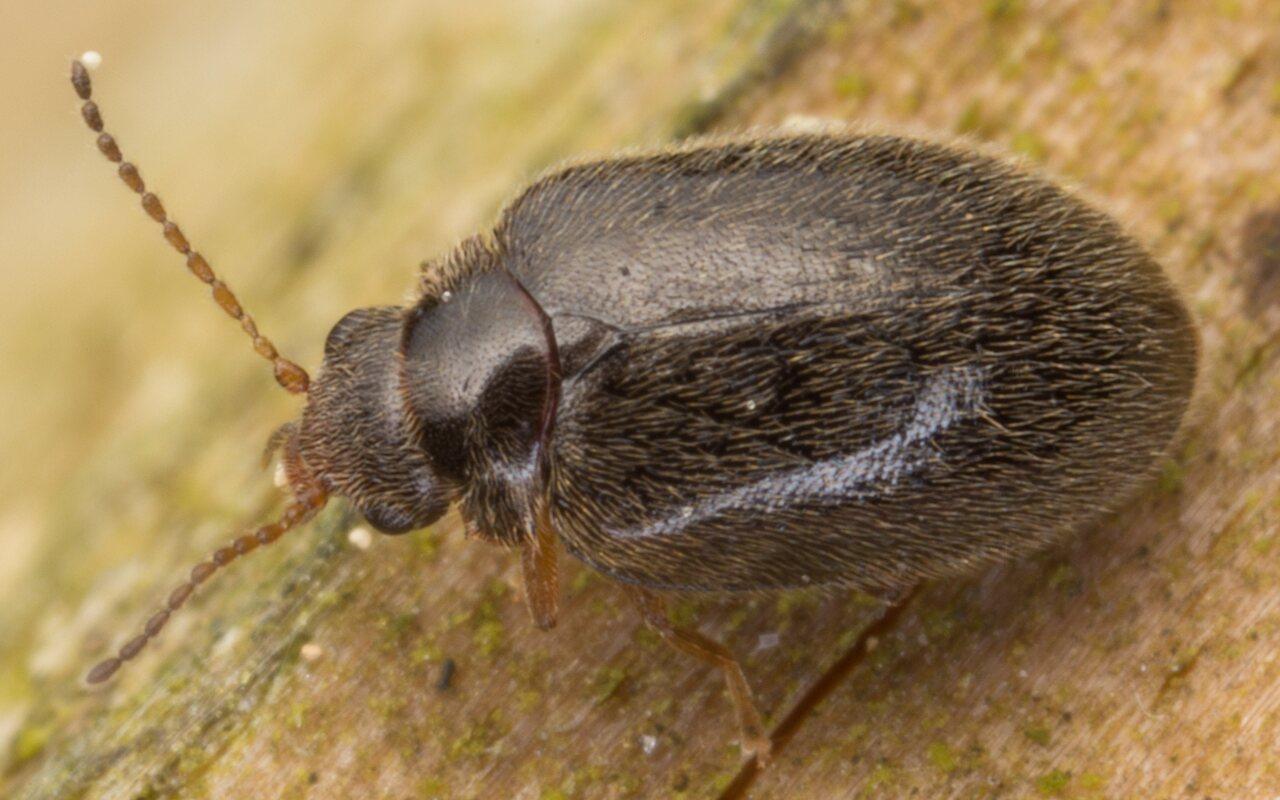 Cyphon palustris?  · liūnvabalis -- Cyphon sp. 6482
