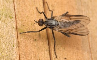 Rhamphomyia crassirostris · snapmusė