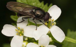 Pipizella sp. male · žiedmusė ♂
