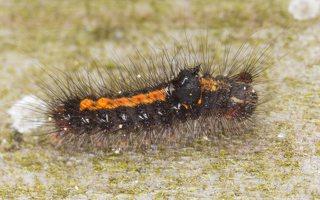 Euproctis similis caterpillar · geltonuodegis verpikas, vikšras 6502