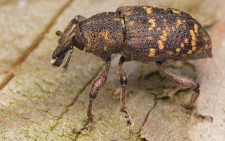 Hylobius abietis · didysis pušinis straubliukas