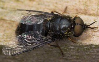 Stratiomyidae · plokščiamusės 6533