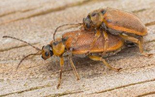 Galerucella lineola mating · guobinis aksominukas poruojasi