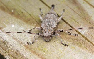 Acanthocinus aedilis female · ilgaūsis pušiagraužis ♀