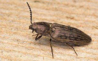 Actenicerus siaelandicus · strazdanotasis spragšis
