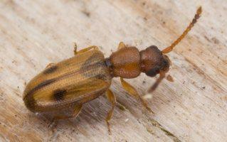 Silvanidae · aruodvabaliai