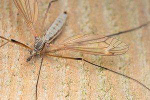 Tipula luna · ilgakojis uodas 6617