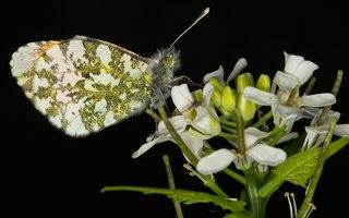 Anthocharis cardamines male · aušrelė ♂ 6654