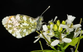 Anthocharis cardamines male · aušrelė ♂ 6655