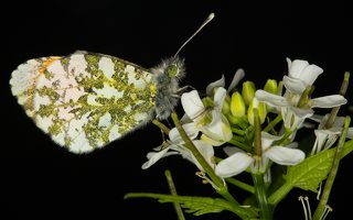 Anthocharis cardamines male · aušrelė ♂ 6657