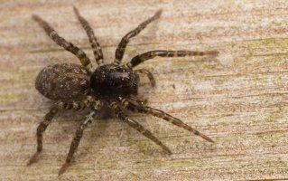 Lycosidae · plėšriavoris 6700