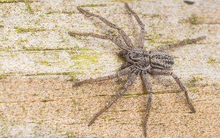 Philodromidae · vikrūnai