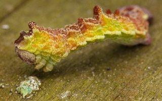 Geometra papilionaria caterpillar · didysis žaliasprindis, vikšras 6848