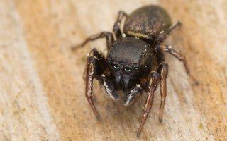 Heliophanus auratus male · auksaspalvis žėrūnas ♂ 6875