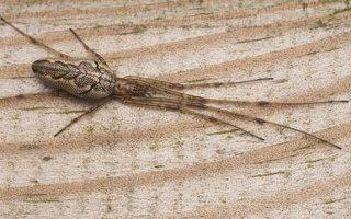Tetragnathidae · storažandžiai