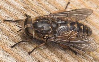 Tabanidae · sparvos 6960