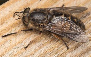 Tabanidae · sparvos 6961