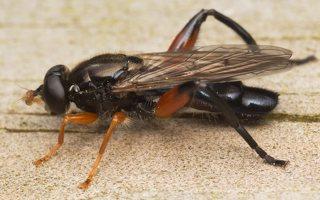 Chalcosyrphus valgus · žiedmusė