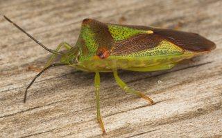 Acanthosoma haemorrhoidale · gudobelinė skydblakė