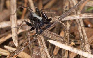 Pardosa lugubris male · paprastasis šuolininkas ♂ 6978